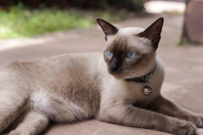 Кошка сиамской породы с кулоном на кожаном ошейнике