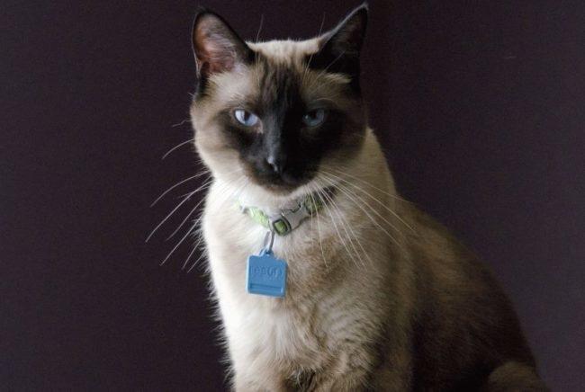 Породистая сиамская кошка с ошейником и биркой