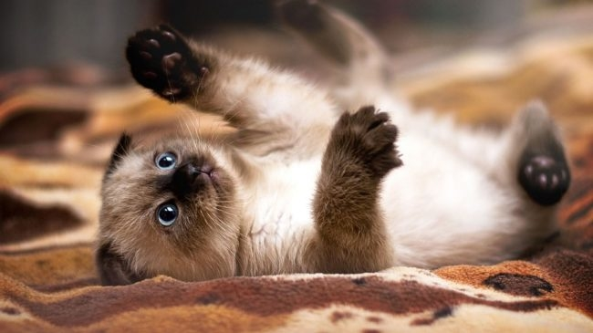 Маленький котенок сиамской кошки играется лежа на спине