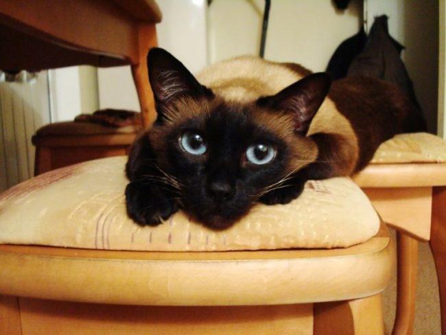 Лежащая на мягком стуле сиамская кошка с черными лапками
