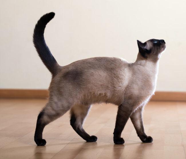 Взрослая сиамская кошка с выгнутой спинкой в ожидании деликатеса