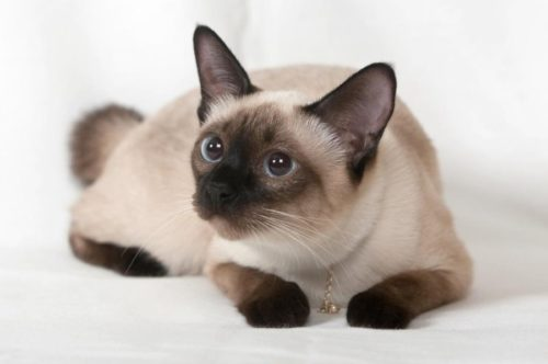 Заинтересованный взгляд сиамской кошки, лежащей с поджатыми лапами