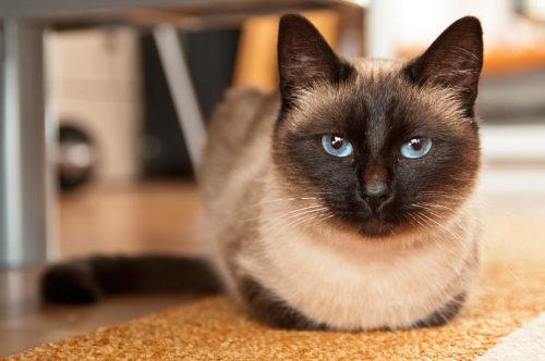 Сиамская кошка с большими раскосыми глазами голубого окраса