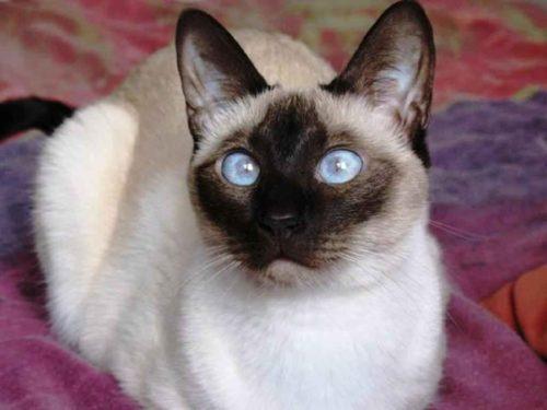 Породистая сиамская кошка с мордочкой темного насыщенного цвета