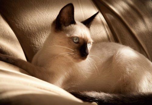 Лежащая на диване сиамская кошка светлого окраса