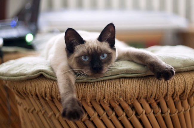 Уставший кот сиамской породы лежит на плетенной кушетке