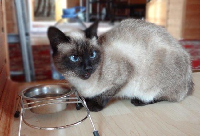 Сиамская кошка во время приема пищи и держатель с миской