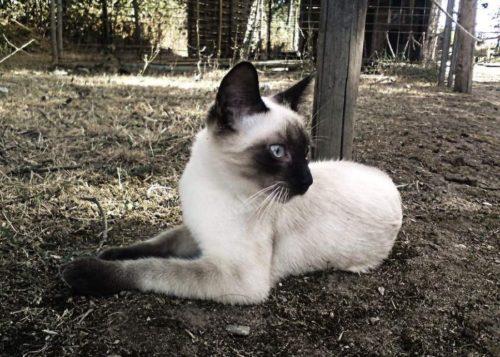 Отдыхающая в саду сиамская кошка с шерсткой светлого цвета