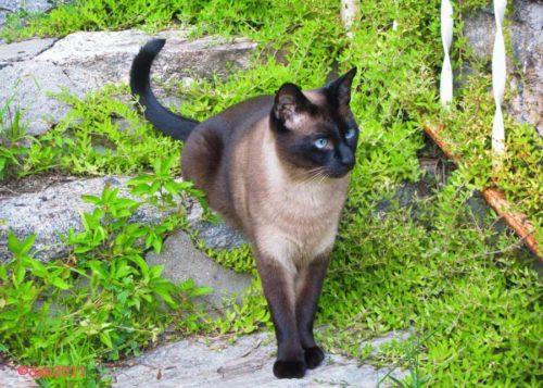 Фото сиамской кошки на ступенях садовой лестницы из натурального камня