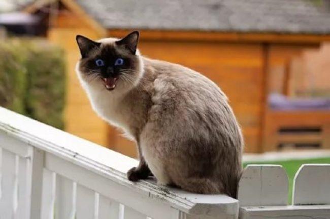 Недовольная сиамская кошка громко мяукает на деревянном заборе