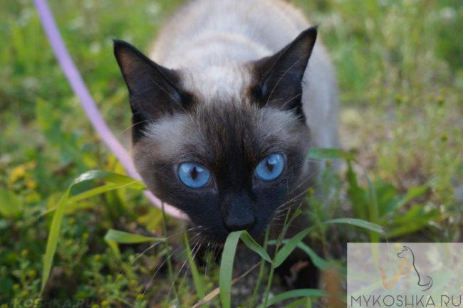 Сиамская порода кошки вблизи охотится