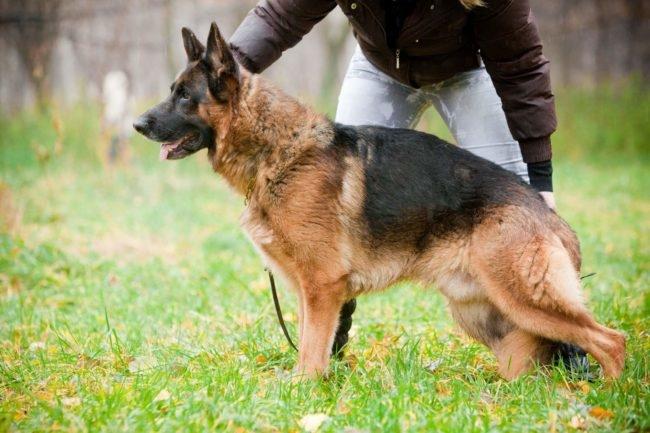 Дрессировка взрослого самца немецкой овчарки