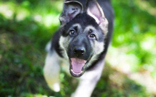 Довольный щенок немецкой овчарки в возрасте шести месяцев