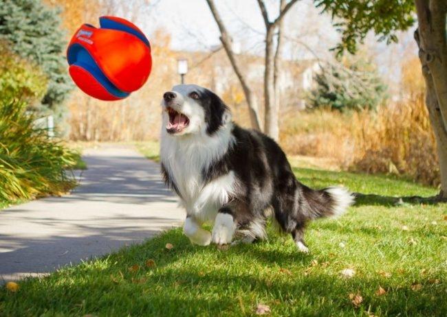 Серо-белая собака в прыжке хватает мяч