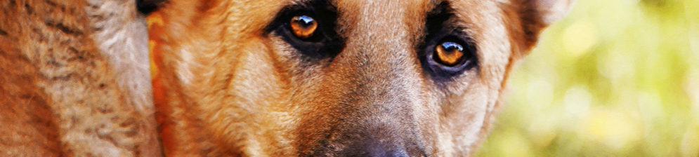Морда грустной собаки вблизи