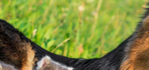 Взрослая немецкая овчарка и котята