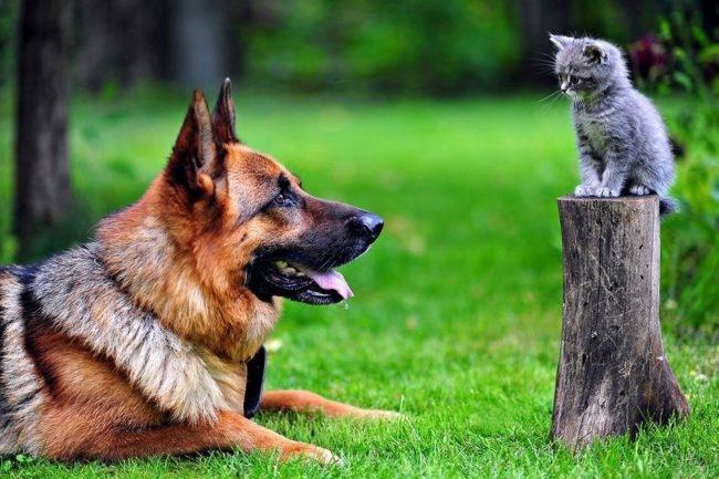 Дружелюбное общение немецкой овчарки с котенком