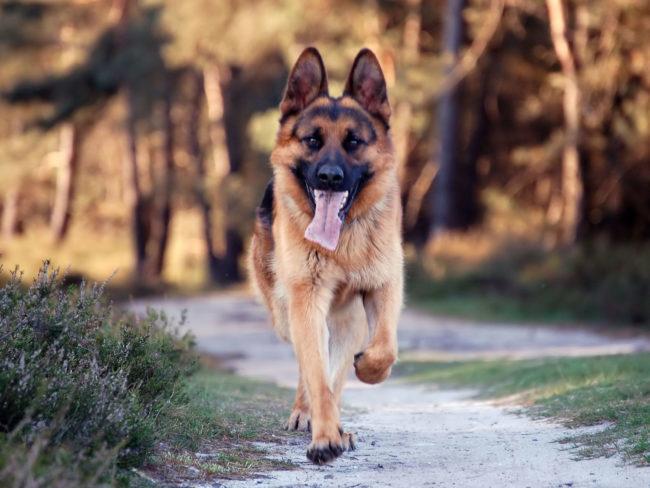 Бегущая собака породы немецкая овчарка