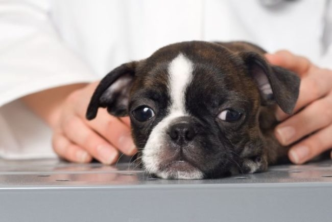 Фото щенка, которому не разрешили съесть свои фекалии