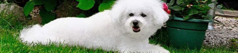 Собака породы Бишон Фризе лежит на газоне в полный рост