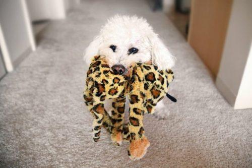 Маленькая кудрявая собачка с плюшевой игрушкой в зубах