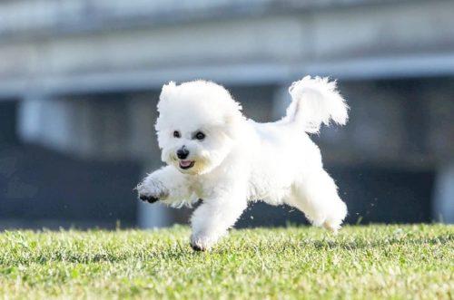 Пушистая собака с белой шерстью резвится на газоне