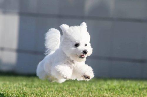 Очаровательная собачка породы Бишон Фризе в затяжном прыжке