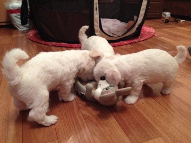 Три белых щенка уплетают вкусный корм из общей миски