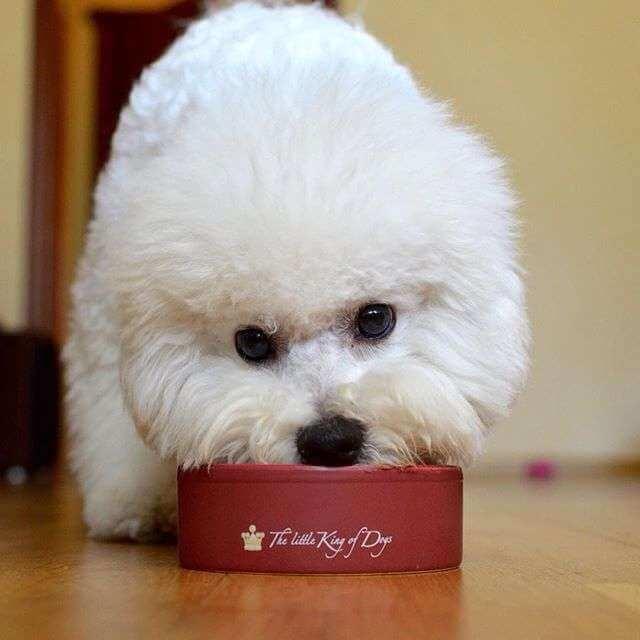 Мохнатая собачка белого окраса кушает из персональной миски