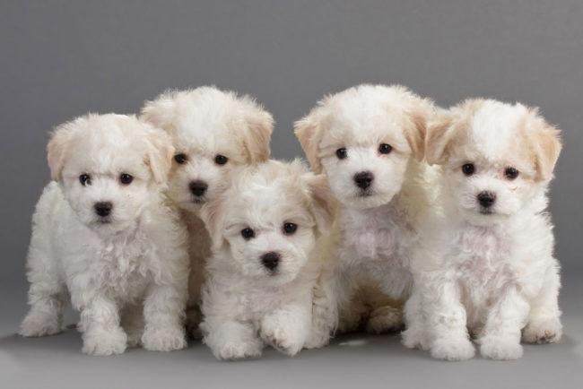 Четыре щенка с пятнами цвета шампанского на белой шубке