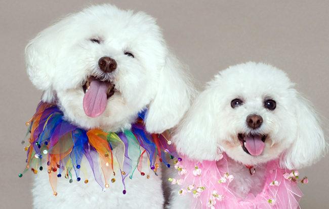 Очаровательные мордочки собачек породы Бишон Фризе с улыбками