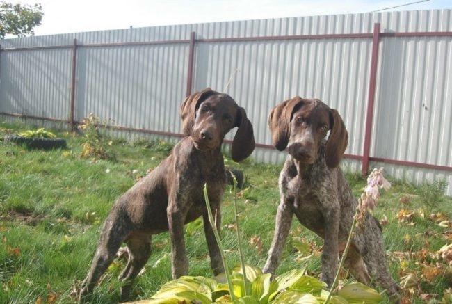 Два щенка Курцхаара на фоне забора из профилированного листа