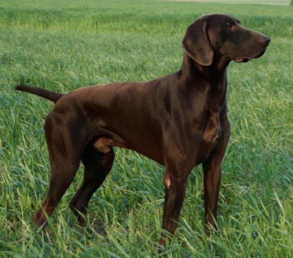 Темно-коричневый кобель породы Курцхаар с хвостом средней длины
