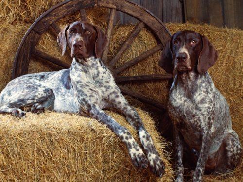 Две собаки породы Курцхаар на тюке сена
