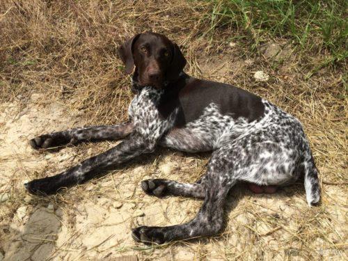 Пятнистая собака охотничий породы Курцхаар лежит на сухой траве