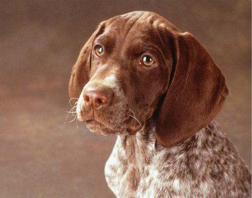 Голова породистой собаки Курцхаар с повислыми ушами