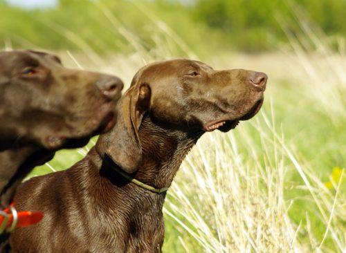 Собаки породы Курцхаар застыли в поисках дичи