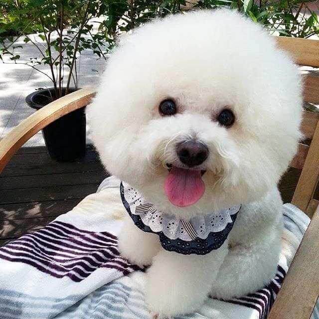 Фото симпатичной собаки породы Бишон Фризе белоснежного окраса