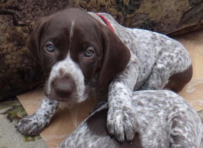 Щенок собаки Курцхаар пятнистого окраса в домашних условиях