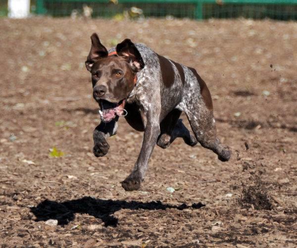 Собака породы Курцхаар пятнистой окраски бежит увидев постороннего человека