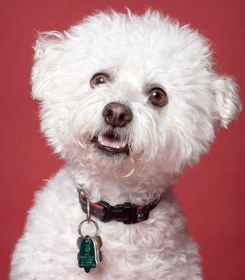Любознательная собака миниатюрной породы Бишон Фризе с ошейником