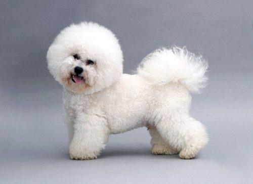 Мягкая длинная шерсть на собачке породы Бишон Фрезе