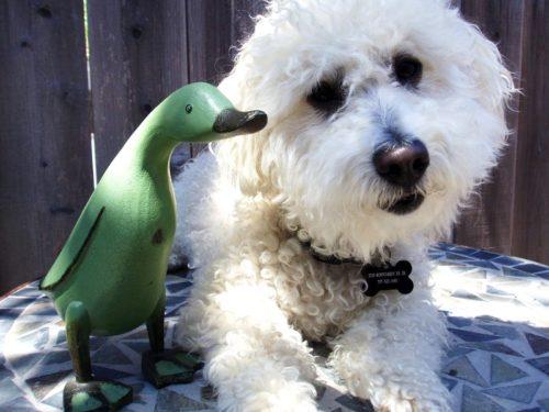 Кобель породы Бишон Фрезе со своим другом зеленым утенком