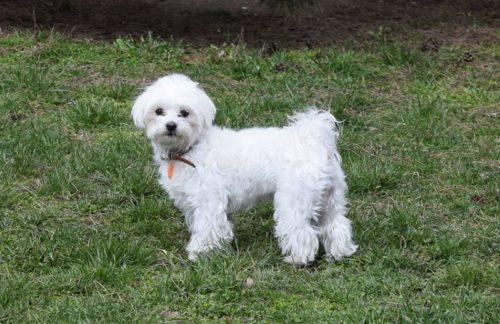 Взрослая собака породы Бишон Фризе с кудрявой шерстью