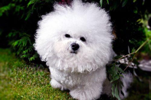 Собачка породы Бишон Фризе с симпатичной мордочкой на прогулке в парке