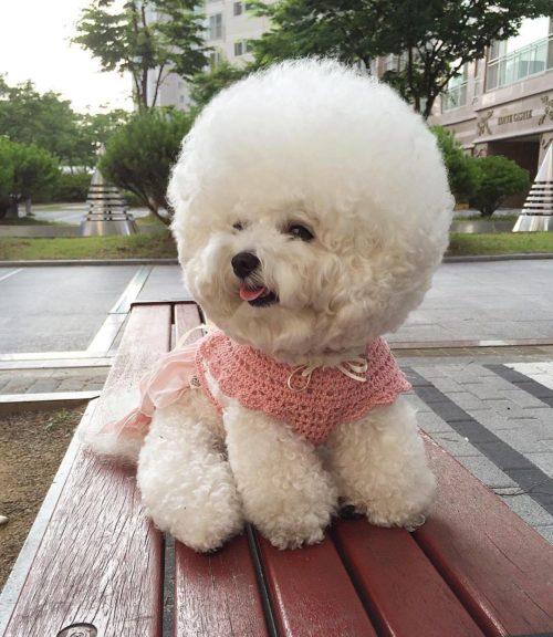 Девочка популярной породы собаки Бишон Фризе на деревянной лавке