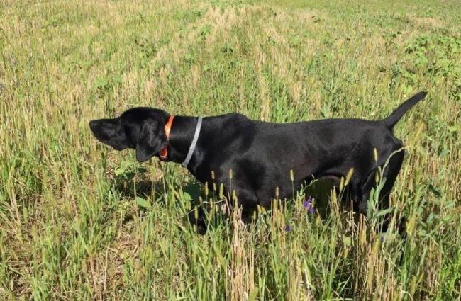 Черная собака взяла след птицы и готова к преследованию добычи