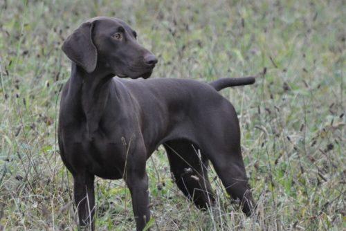 Фото охотничий собаки Курцхаар с черным окрасом шерсти