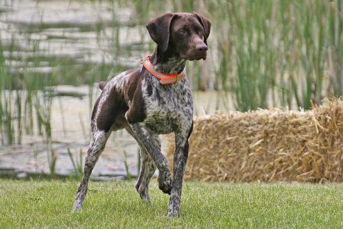 Собака Курцхаар с темно-коричневой мордой и светлыми пятнами на теле и лапах