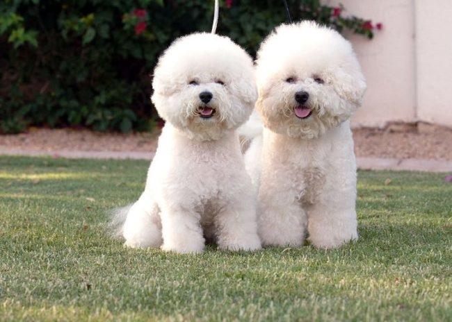 Две взрослые собаки миниатюрной породы с длинной пушистой шерстью